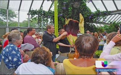 Ayudan a florecer a la planta cadáver