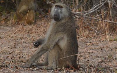 Un babuino híbrido en el parque nacional de Kafue (Zambia). Estos...