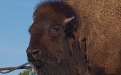 Se vende búfala entrenada