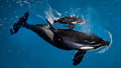 SeaWorld muestra el momento del nacimiento de la última orca en cautiver...
