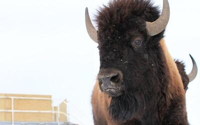 El bisonte vuelve a las planicies canadienses después de 100 años