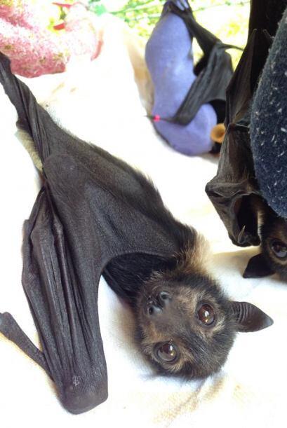 Un hospital para murciélagos bebé