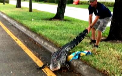 Cocodrilo es hallado en una carretera de la Florida