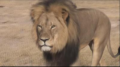 Indignación en Zimbabue por asesinato del león Cecil