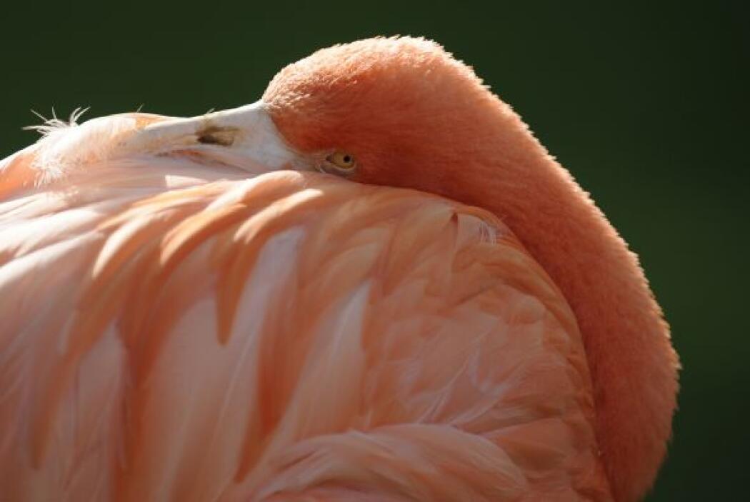 Un flamenco rosado posa para las cámaras en el Centro Zoológico de Amberes.
