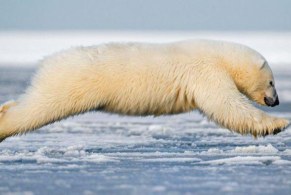 Al parecer este oso polar disfruta tanto el momento del baño, que...