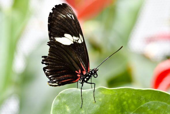 En primera instancia, estos insectos comienzan en forma de oruga.