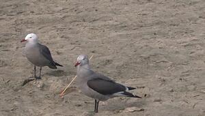 La policía tiene cuatro casos documentados de aves atacadas con cerbatanas