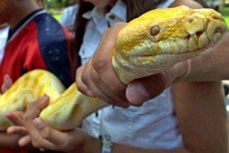 La policñia italiana capturó una serpiente pitón de unos tres metros de...