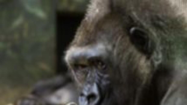Nace bebe gorilla en Lincoln Park Zoo