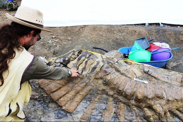 Se trata de la única cola articulada de dinosaurio que se haya de...