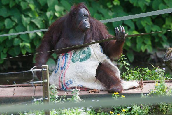 Los orangutanes  son criaturas curiosas y tienen sorprendentes capacidad...