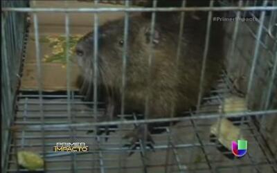 Capturaron a rata gigante en un almacén de China