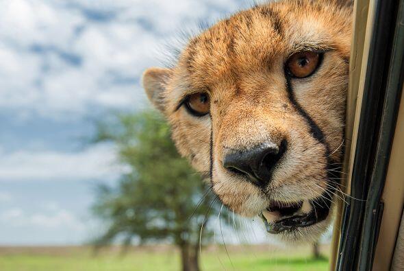 Un guepardo que se asomó a un Jeep dulcemente le alegró el...