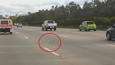 Esta paloma vuela por una autopista como si participara en una competenc...