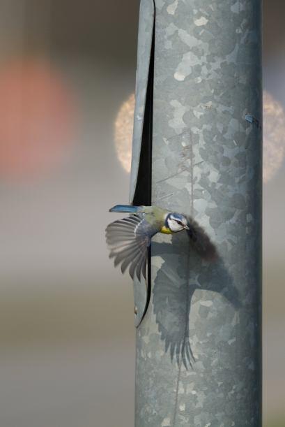 ¡El pequeño pájaro amarillo y azul tiene un gran tra...