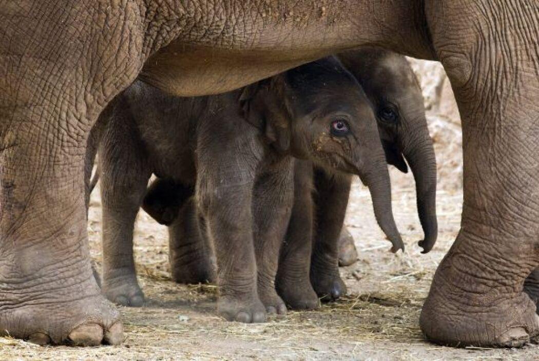 """Imágenes conmovedores del bebé elefante acercandose a su madre  """"La Peti..."""