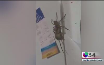Una gigantesca araña atrapa a un ratón