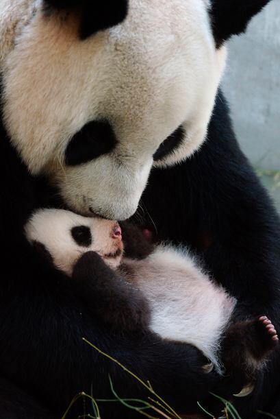 El primer panda nacido en Taiwán cumplió un año y sus cuidadores lo fest...