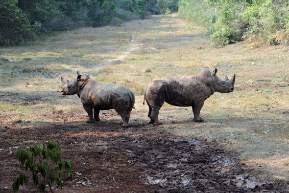 Rinoceronte significa 'cuerno en la nariz', es su instrumento de defensa...