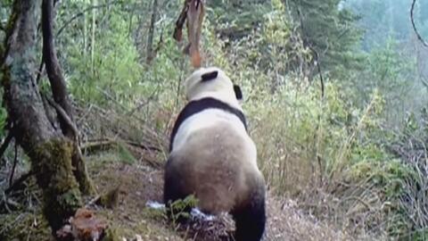 Este panda (aunque herbívoro) no resistió el olor del tocino