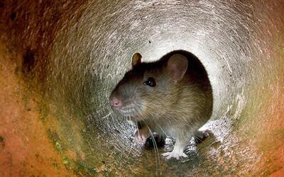 Bacteria transmitida por ratas cobró la vida de una persona en El Bronx