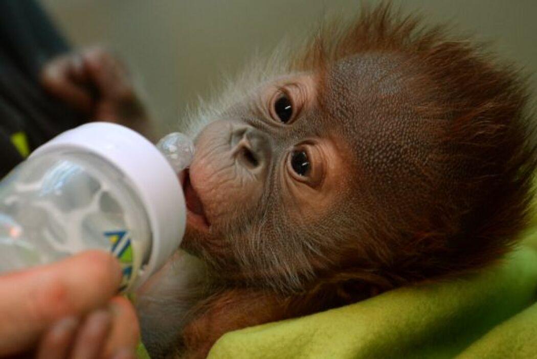 Nace un nuevo orangután en el zoológico de Berlín.