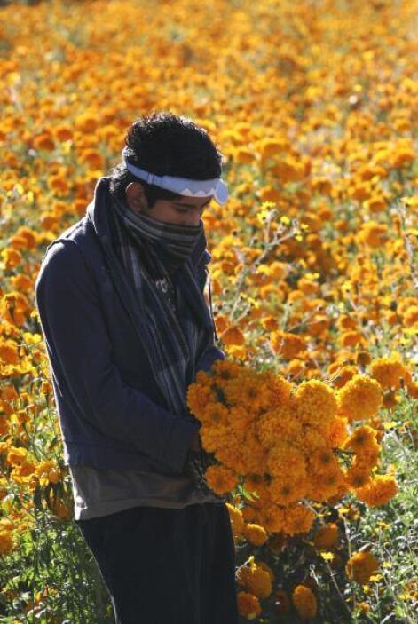 La flor de cempasúchil ó Flor de muerto por su nombre del náhuatl Cempoa...