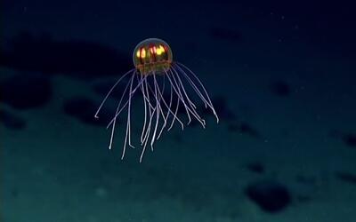 Una medusa de otro mundo