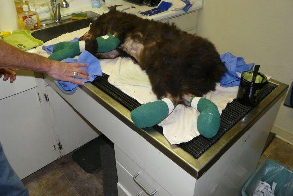 Los integrantes del centro de Lake Tahoe Fauna Care (LTWC) en California...