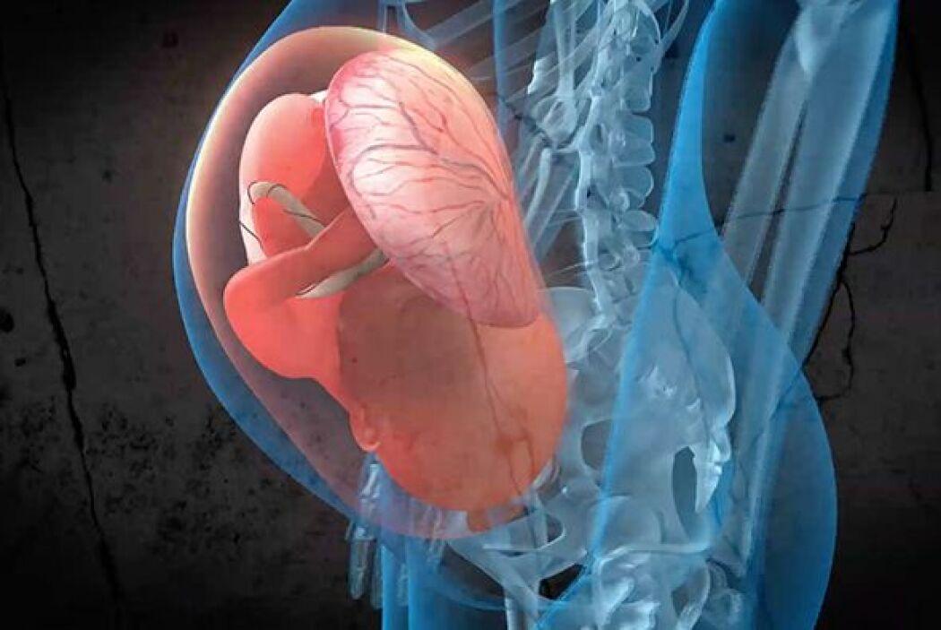 La placenta es un órgano que conecta la pared uterina con la madre con e...