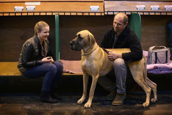 Gran danés: Este enorme canino es el compañero ideal para una clase se y...