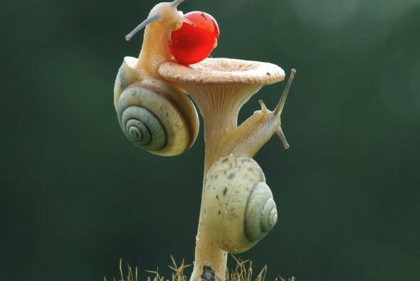Este par de caracoles intentando llegar a una cereza son la muestra perf...