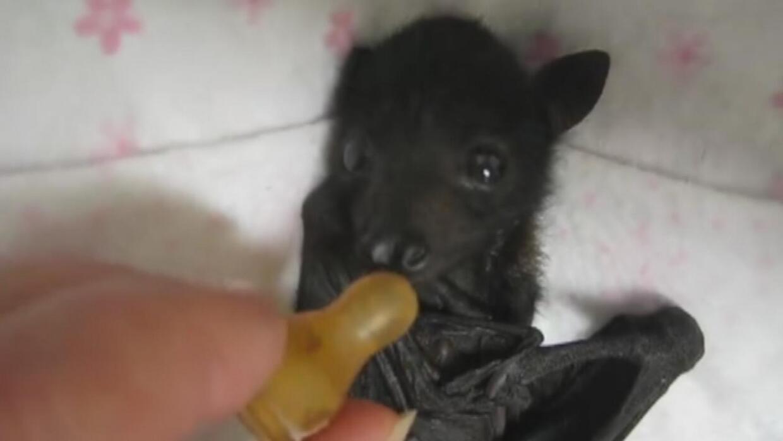 Cómo alimentar a un murciélago bebé