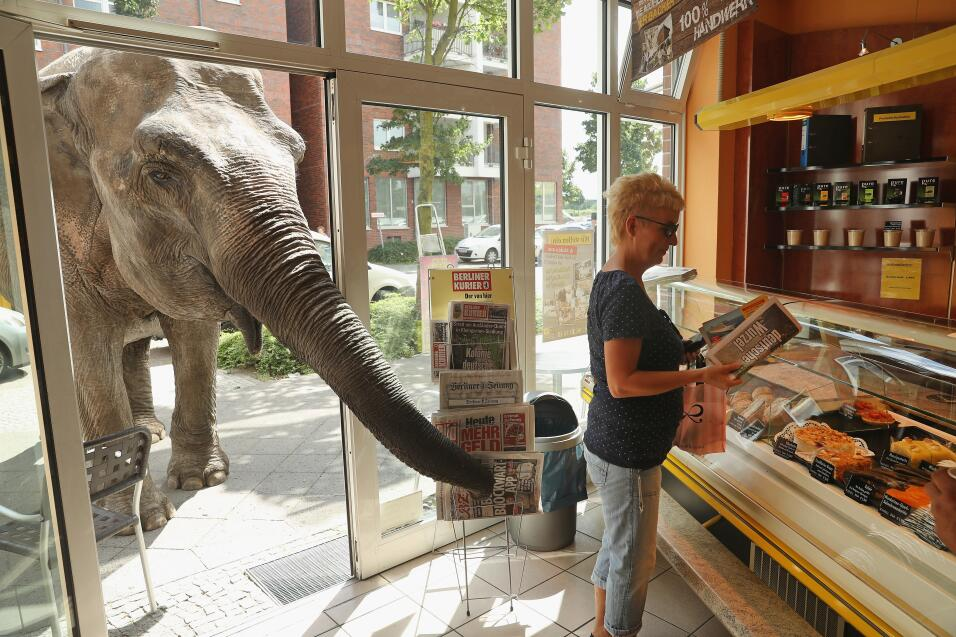 Maja es una elefante de 40 años, perteneciente al circo Busch, que suele...