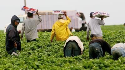 Trabajadores rurales hispanos cosechan fresas en California