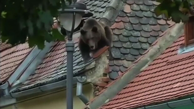 Un joven oso asusta a residentes en Transilvania, Rumania