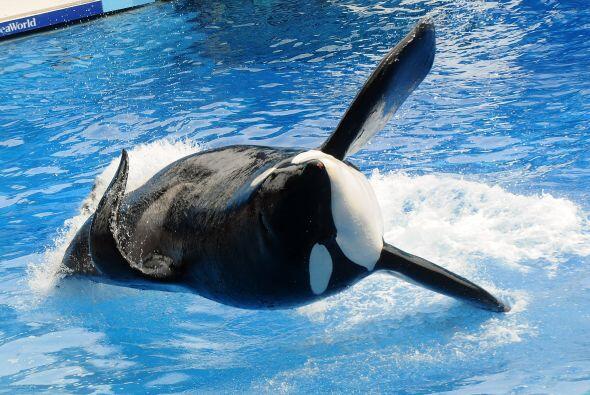 La ballena Tilikum reapareció  en el parque Sea World de Orlando, Florid...