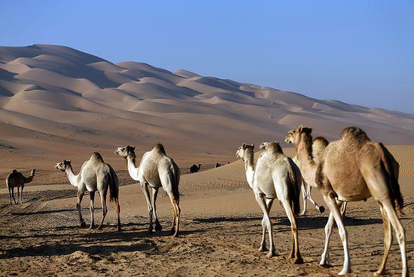 Los camellos caminan por el desierto Liwa, a unos 220 kms. al oeste de A...