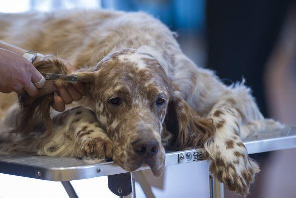 Una vez a la semana es suficiente para perros de orejas largas y dos vec...