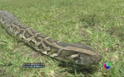 Una serpiente pitón estranguló a dos menores en medio de la noche