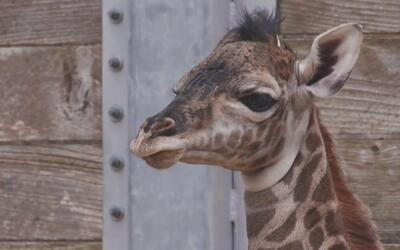 El Zoológico de Houston anunció el nacimiento de una jirafa masai
