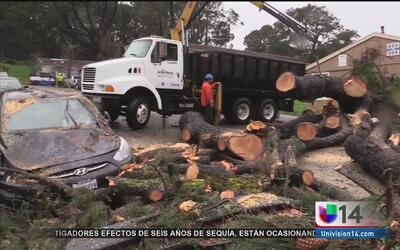 Árbol gigante se desploma en un fraccionamiento de San Francisco