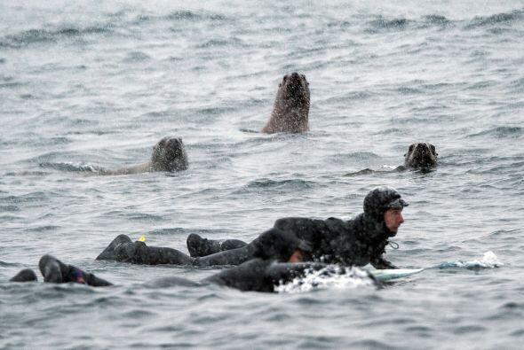 Los surfistas atrajeron la atención de los curiosos leones marinos.
