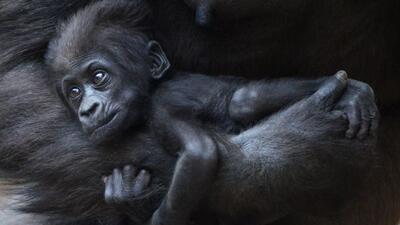 El pequeño es un gorila de planicie, una especie en vías de extinción.