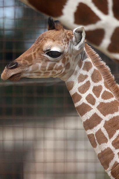 Bititi dio a luz a gemelos, un fenómeno muy raro entre jirafas, pero sól...