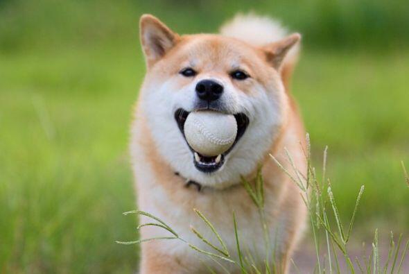 Es un perro muy juguetón y ama la pelota.