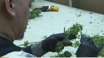 Temen fracaso de legislación sobre cannabis medicinal en Puerto Rico