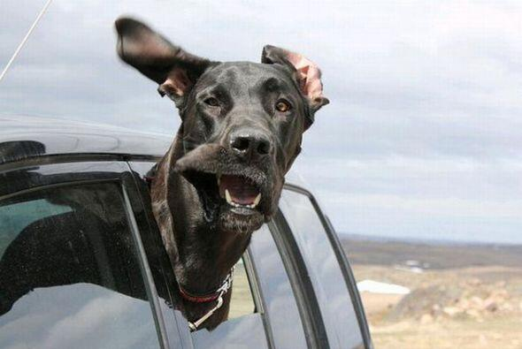 Pero a ellos les encanta pasear en automóvil para sentir el aire en sus...