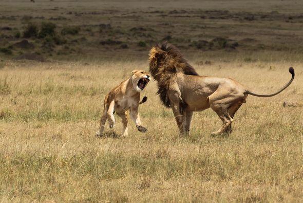 Con sus garras afiladas, ¡soltó zarpazos en la cara del león!